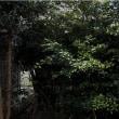 庭木の伐採は中止です