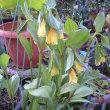 黄花ホウチャクソウが咲いていた