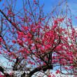 「萬年山長松禅寺」は紅白梅に彩られて・・・!!