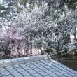 今年も梅が咲いたよ~フサちゃん。