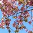 旭川 井上靖通り2018春・八重桜満開