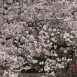 散るが定めの桜