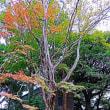 『楓蔦黄』 北蔵