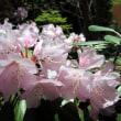 東石楠花(アズマシャクナゲ)の花