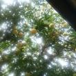 黄金の夏蜜柑