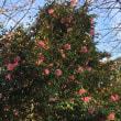 早咲き桜  白野江植物公園