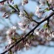 ようやく桜が咲き始めた