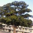 新磯小の大きな楠の木!