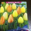 県下一❣️種や珍しいチューリップ&百合の球根も多品種揃う「まちのはなやさん」Garden&アグリ事業部(╹◡╹)♡