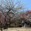 うめ 神奈川県小田原市 小田原フラワーガーデン(6)渓流の梅園梅まつり(6)