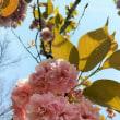 また、桜ウォーキング
