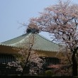 4/31桜散策
