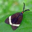 庭に来る昆虫 ホソオビアシブトクチバ、クロウリハムシ、コフキコガネ、ホタルガ、オオシオカラトンボ