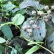 ガマズミ 莢蒾 虫こぶ