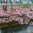 小杉御殿町の河津桜
