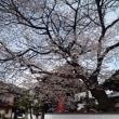 木曽福島 桜