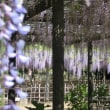 玉敷神社の藤です~