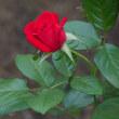 秋バラ咲く北公園・雑木林で赤いキノコに出会う