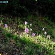 オルキス・イタリカ Orchis italica