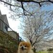 ワイン犬リクはポメラニアン。今年も毎度のお花見散歩