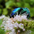 美しい昆虫 オオセイボウ(大青蜂)