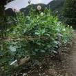 両神山麓ダリア園(2)