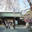 三島大社桜満開