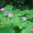 蓮の花(Blog582)