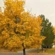 家の前のメイプルの木