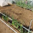 ネギの収穫もソロソロ終わりに近づいてきました。