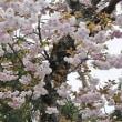 1101        西山花めぐり(其の3)  2018.04.14(土)晴れ後曇り