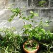 庭の草花(老爺柿)