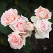 華麗な薔薇たち
