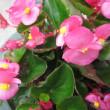 ベゴニアという花