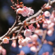 Winter Cherry Blossoms and Rosy Flower of  Plum Trees began to Bloom  石山寺の寒桜と紅梅が咲き始めました。