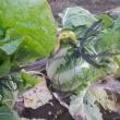 白菜縛り終える、ロマネスコ採れる