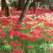川東公園の彼岸花