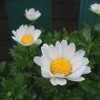 季節の花「ノースポール