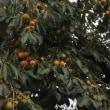 がんざん   柿