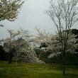 皇居の桜見物