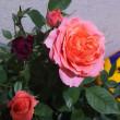 バラが2色?レインボーローズじゃないけれど