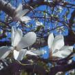 お化け 幽霊は・・ 確認は困難 白い花コブシ