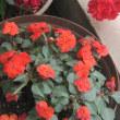 庭に咲く、ユリの花