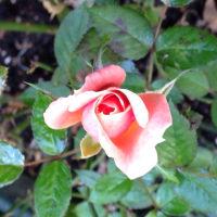 庭の  ミニバラと   コスモス