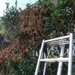 菜園いじりが一段落したので植木の剪定をします<(_ _)>