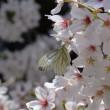 スジグロシロチョウ 【筋黒白蝶】