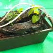 姫黒豆のプランター栽培体験  「八多(はた)ふれあいセンターにて」