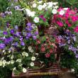 我が家の庭のペチュニアが奇麗に咲き誇っています