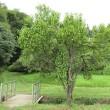 Prunus persica ❛Sarasa❜