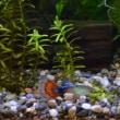 熱帯魚サバイバル その3 ~ピンセット購入、水草・バックスクリーン追加~